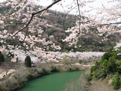 ゆずるはダム公園の桜