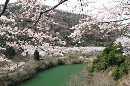 ゆずるはダム公園 桜450300.jpg