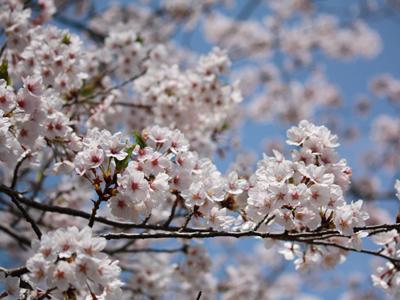 淡路島の桜1
