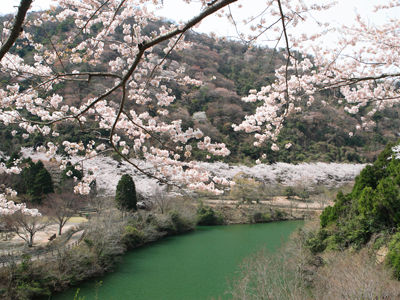 ゆずるはダム公園の桜01 400x300.jpg